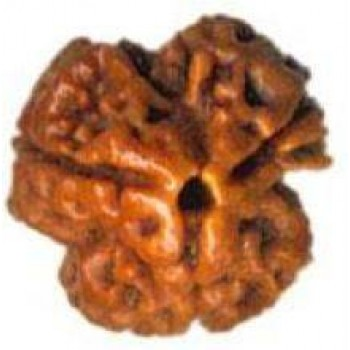Three Mukhi Rudrakshas are three types of three mukhi Rudraksha. The round Nepal type under the species Elaeocarpus angustifolius.